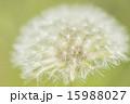 たんぽぽ 15988027