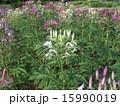 酔蝶花 クレオメ 花の写真 15990019