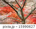 小原の四季桜 15990627