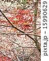 小原の四季桜 15990629
