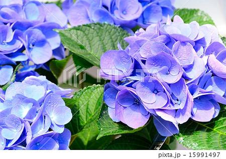 アジサイ ラセン・ブルー 15991497