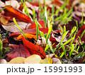 枯れ葉と緑 15991993
