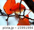紅葉 15991994