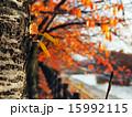 紅葉の並木道 15992115