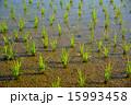 田んぼ 水田 苗の写真 15993458