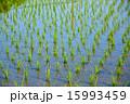 田んぼ 水田 苗の写真 15993459
