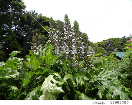大きなトラノオのようなアカンサスの白い花 15995599