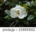 タイサンボク 白色 花の写真 15995602