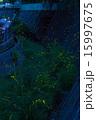 ゲンジボタル 光る 蛍の写真 15997675