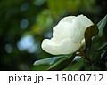タイサンボク ヒメタイサンボク ホソバタイサンボクの写真 16000712