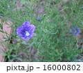 ニールンベルギアの花 16000802