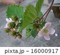 ブラックベリーの花と実 16000917