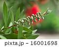 カリステモン 金宝樹 ハナマキの写真 16001698