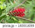 カリステモン 金宝樹 花槙の写真 16001699
