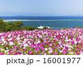 能古島のコスモス 16001977