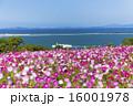 能古島のコスモス 16001978