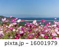 能古島のコスモス 16001979