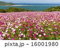 能古島のコスモス 16001980