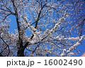植物 樹木 桜の写真 16002490