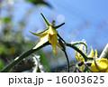 野菜 ミニトマト 花 菜園 16003625