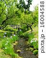 水辺 花菖蒲 小川の写真 16004588