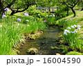 水辺 花菖蒲 小川の写真 16004590