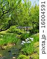 水辺 花菖蒲 小川の写真 16004591