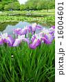 花菖蒲 花 菖蒲の写真 16004601