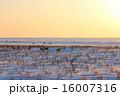 夕日とエゾシカ 16007316