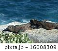 ガラパゴス諸島 海イグアナ イグアナの写真 16008309