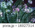 クレオメ 西洋風蝶草 花の写真 16027314
