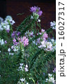 クレオメ 西洋風蝶草 花の写真 16027317