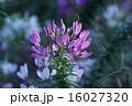 クレオメ 西洋風蝶草 花の写真 16027320