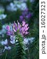 クレオメ 西洋風蝶草 花の写真 16027323