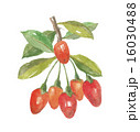 クコの実 植物 フルーツのイラスト 16030488