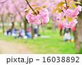 八重桜 お花見 花の写真 16038892