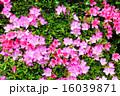 ツツジ科 躑躅 アザレアの写真 16039871