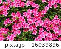 ツツジ科 躑躅 アザレアの写真 16039896