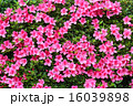 ツツジ科 躑躅 アザレアの写真 16039898