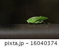 クダマキモドキ サトクダマキモドキ 虫の写真 16040374