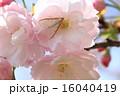 マエアカスカシノメイガ 蛾 ヤエザクラの写真 16040419