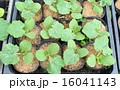 プランター 栽培 カボチャの写真 16041143