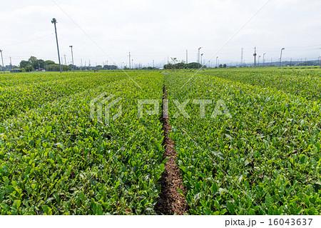 茶畑(埼玉県狭山丘陵) 16043637