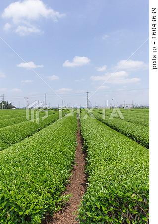 茶畑(埼玉県狭山丘陵) 16043639