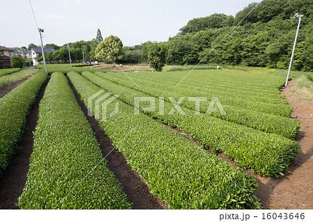 茶畑(埼玉県狭山丘陵) 16043646