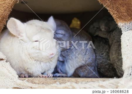 Chinchilla groups sleeping in hole. 16068628