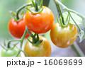 食べ物 ミニトマト プチトマトの写真 16069699