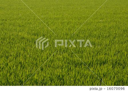 青々と茂る水田の稲 16070096