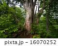 巨木 巨樹 ネズコの写真 16070252