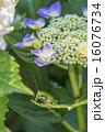 紫陽花とアマガエル 縦  16076734